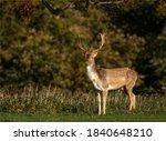 Fallow Deer Buck Looking...
