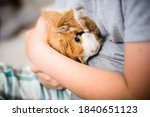 Guinea Pig In Hands Of Child....