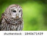 Portrait Of Barred Owl  Strix...