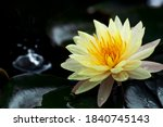 Beautiful  Thai Lotus That Have ...