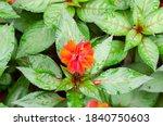 impatiens walleriana hook with...   Shutterstock . vector #1840750603