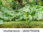 monstera plants in the garden   Shutterstock . vector #1840750606