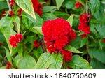 cockscomb  chinese wool flower...   Shutterstock . vector #1840750609