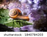 Brown Snail On A Green Leaf...