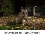 Australian Brushtail Possum At...