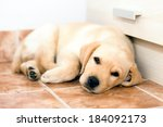 cute  little yellow labrador... | Shutterstock . vector #184092173