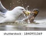Yellow Legged Gull  Larus...
