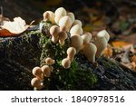 Lycoperdon Perlatum  Known As...