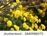 A Bush Of Small Lush Yellow...