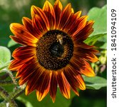 Close Up Of Dark Sunflower With ...