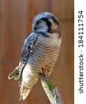 Small photo of Boreal Owl (Aegolius funereus) is a small owl. It is also known as Tengmalm's Owl.
