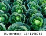 Background Witn Big Cabbage...