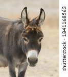 Portrait Of Donkey With Long...
