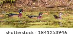 Two Male Wood Ducks And One...