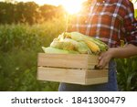 Woman With Crate Of Ripe Corn...