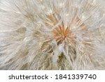 Seedhead Of Yellow Salsify ...