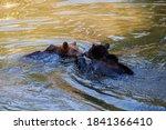 Two Brown Bears  Ursus Arctos ...