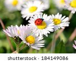 The Ladybird On A Daisy Flower
