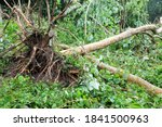 Uprooted And Fallen Trees...