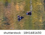 2 Mandarin Ducks Swimming In...
