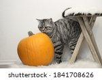 British Shorthair Cat Plays...