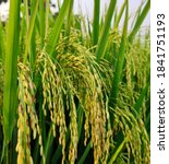 Rice Field With Golden Ear Of...