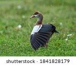 Big Bird Egyptian Goose In...