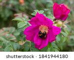 Bumblebee On A Pink Flower Of...