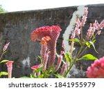 Cockscomb Flower  Celosia...