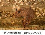 Squirrel Degu In A Cage Close...