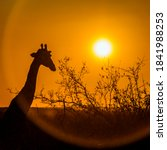 Portrait Of Giraffe At Sunset...