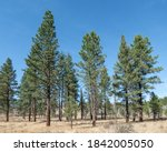 A stand of Ponderosa Pine (Pinus ponderosa) woodland vegetation community type in Fremont-Winema National Forest outside Lakeview, Oregon