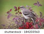 Northern Mockingbird In Nandina