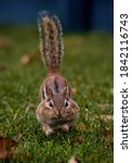 A Chipmunk Running With It's...