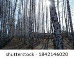 alley of birch trees in... | Shutterstock . vector #1842146020
