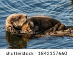 A Beaver Swims In A River With ...