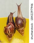 Two Large Achatina Snails Sit...