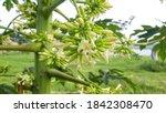 Beautiful Papaya Flowers And...