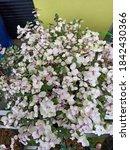 Syzygium Oleana Is Origin From...