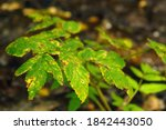 green leaves with signs of... | Shutterstock . vector #1842443050
