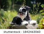 Miniature Schnauzer Dog Laying...