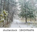 Winter Forest In A Snowstorm....