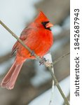Small photo of A male Northern Cardinal is perched on a branch with his feathers puffed out against the cold. Also known as a Common Cardinal or Redbird. Lynde Shores Conservation Area, Whitby, Ontario, Canada.