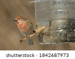A Male House Finch Is Perched...