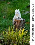 An Arctic Fox  In Its White...