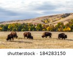 American Buffalo   Bison Herd...
