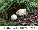 Close Up Of Two Puffball...
