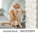 Gin Ger Tabby Cat Is Trying To...