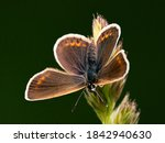 A Brown Argus Butterfly Is...