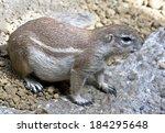african ground squirrel. latin...   Shutterstock . vector #184295648